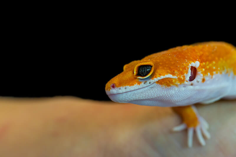 are dubia roaches healthy for leopard geckos?