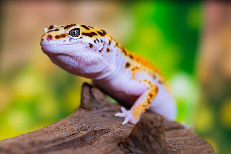 can leopard geckos eat vegetables?