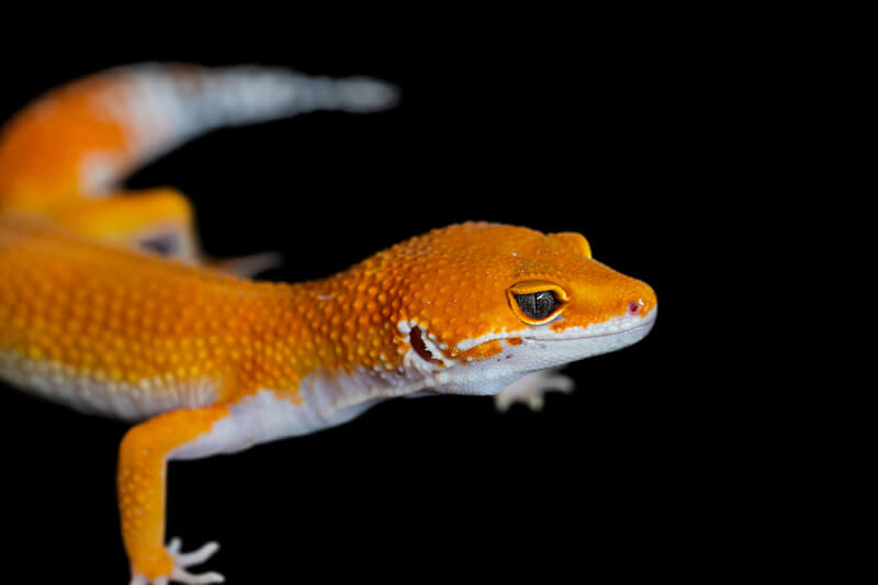 are red lights bad for leopard geckos?