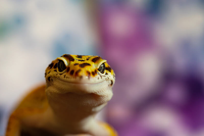 leopard gecko licking behavior