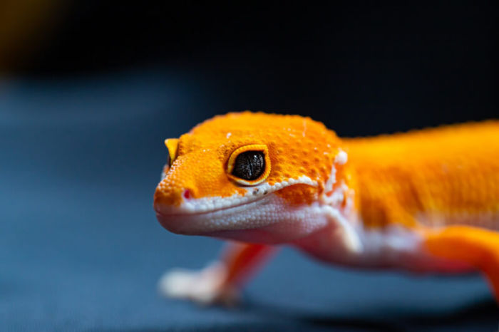 Are darkling beetles okay for leopard geckos?