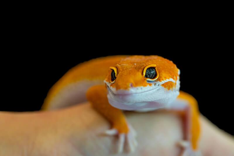 can leopard geckos eat human foods?
