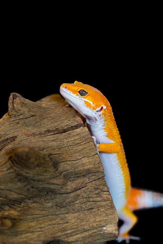 do leopard geckos miss their owners?