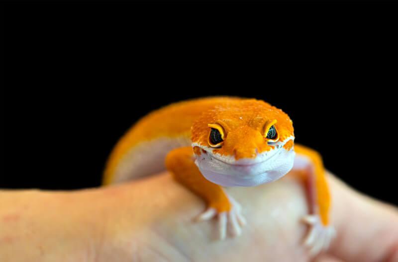 At what temperature do leopard geckos die?