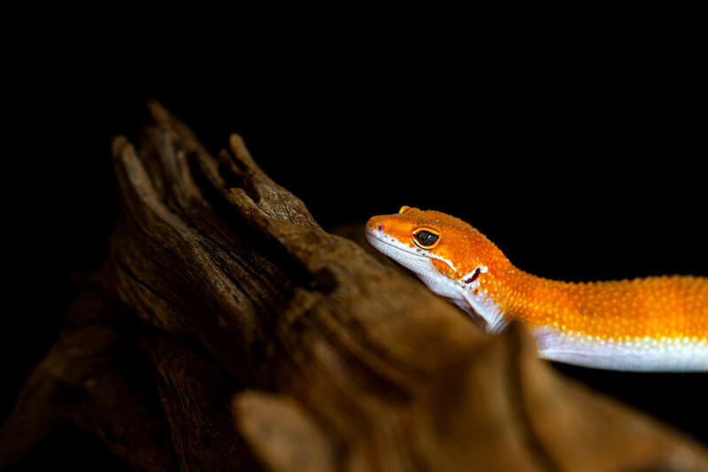 Do leopard geckos need to be bathed?