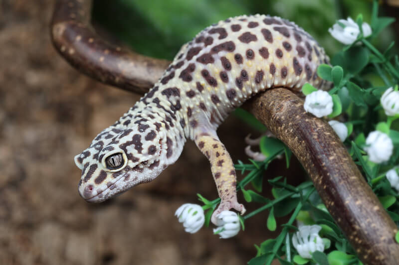 How long can my leopard gecko survive during a power outage?