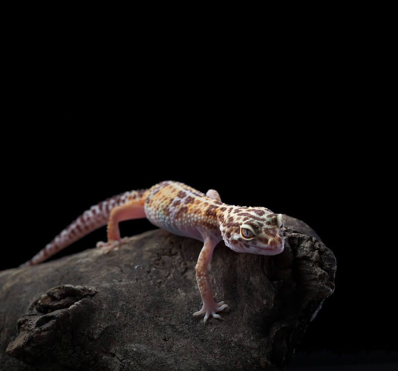 leopard gecko tail wagging meaning