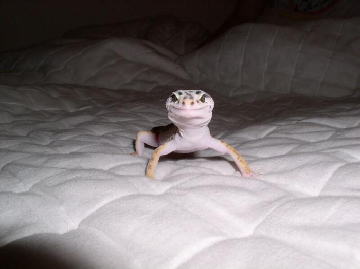 Leopard gecko on a leash