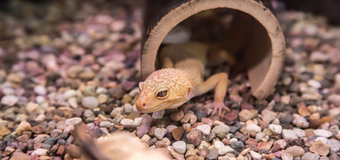 Can leopard geckos survive without heat?