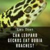 Can leopard geckos eat dubia roaches?