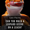 Can you walk a leopard gecko on a leash?