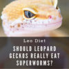 Can leopard geckos eat superworms?