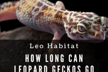 How long can leopard geckos go without heat?