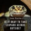 Can I take my leopard geckos outside?