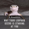Why is my leopard gecko staring at me?