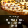 Why is my leopard gecko so stressed?