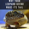 why do leopard geckos wag their tails?